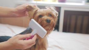 Femme balayant son chien vidéo drôle de mode de vie de chien fille peignant un petit soin des animaux familiers de chien hirsute  banque de vidéos