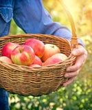 Femme d'agriculteur jugeant un panier plein des pommes organiques Image stock