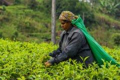 Femme de feuille de thé de cueillette du Sri Lanka sur la plantation de thé Image libre de droits