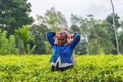 Femme de feuille de thé de cueillette du Sri Lanka sur la plantation de thé Images stock