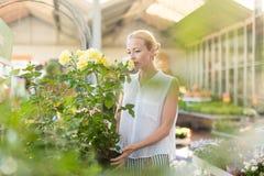 Femme de fleuristes travaillant avec des fleurs à la serre chaude Photographie stock libre de droits