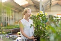 Femme de fleuristes travaillant avec des fleurs à la serre chaude Photo stock