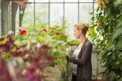 Femme de fleuristes travaillant en serre chaude Photographie stock libre de droits