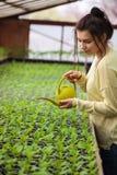 Femme de jeune exploitant agricole arrosant les jeunes plantes vertes en serre chaude Image libre de droits