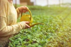 Femme de jeune exploitant agricole arrosant les jeunes plantes vertes en serre chaude Photo stock