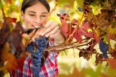 Femme de sourire moissonnant des raisins images libres de droits