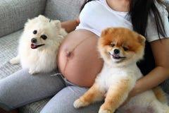 Femme enceinte et animaux familiers mignons de chien pomeranian Images stock