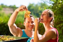 Femme et homme travaillant avec la récolteuse de raisin Photographie stock libre de droits