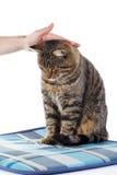 Femme frottant la tête du ` s de chat tigré Image stock