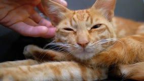 Femme frottant un chat ?gyptien rouge se trouvant sur la chaise clips vidéos