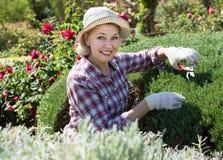 Femme gaie occupée dans les buissons de jardinage Images libres de droits