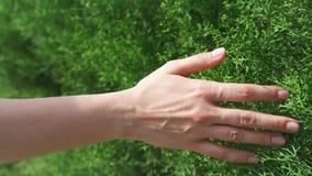 Femme glissant la main contre le feuillage vert frais dans le mouvement lent Surface femelle de contact de main des buissons banque de vidéos