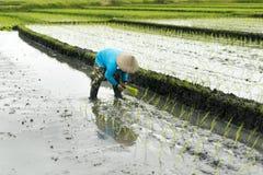 Femme indonésienne d'agriculteur travaillant dans une terrasse de riz Photographie stock
