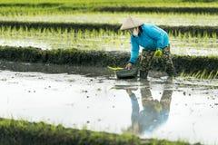 Femme indonésienne d'agriculteur travaillant dans une terrasse de riz Photo stock