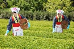 Femme japonaise moissonnant des feuilles de thé Photographie stock libre de droits