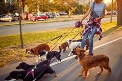 Femme marchant avec des chiens d'un groupe en parc photos stock