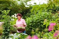Femme moissonnant des haricots dans son jardin image stock