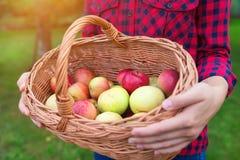 Femme moissonnant des pommes Photo stock