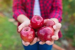 Femme moissonnant des pommes Image stock