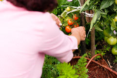 Femme moissonnant des tomates Image stock