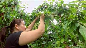 Femme moissonnant la cerise de l'arbre Mouvement lent clips vidéos