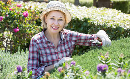 Femme occupée dans les buissons de jardinage Images stock