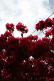 Femme photographiant le blosom rose de rhododendron images stock