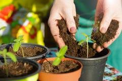 Femme plantant de petites plantes vertes avec ses mains photos stock