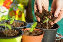 Femme plantant de petites plantes vertes avec ses mains photo stock