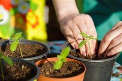 Femme plantant de petites plantes vertes avec ses mains photographie stock