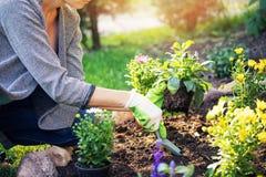 Femme plantant des fleurs dans le lit de jardin photo stock