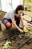 Femme plantant la salade Photos stock