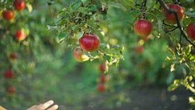Femme  pommes de cueillette clips vidéos