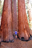 Femme près des arbres de squoia Image stock