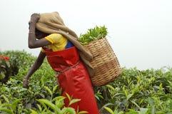 Femme prenant des feuilles de thé Image stock