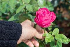 Femme prenant la fleur de rose de rose Image stock