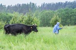 Femme prenant la vache Image libre de droits