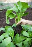 Femme récoltant à la main les feuilles vertes du légume organique propre dedans Photographie stock