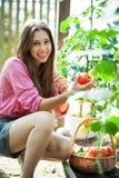 Femme sélectionnant les tomates fraîches Photo stock