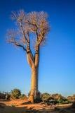 Femme sous le baobab Images libres de droits