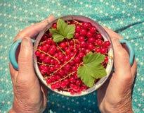 Femme supérieure anonyme en son jardin et groseilles rouges du cru Photo stock
