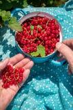 Femme supérieure anonyme en son jardin et groseilles rouges du cru Images stock