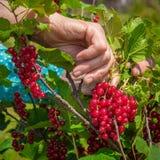 Femme supérieure en son jardin et groseilles rouges du cru Image libre de droits