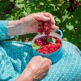 Femme supérieure en son jardin et groseilles rouges du cru Images stock