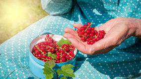 Femme supérieure en son jardin et groseilles rouges du cru Photo stock