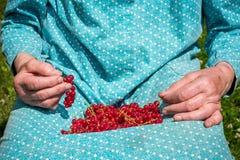 Femme supérieure en son jardin et groseilles rouges du cru Photos libres de droits
