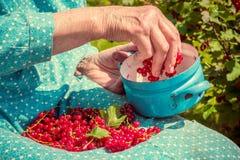 Femme supérieure en son jardin et groseilles rouges du cru Photos stock