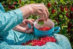 Femme supérieure en son jardin et groseilles rouges du cru Images libres de droits