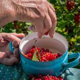 Femme supérieure en son jardin et groseilles rouges du cru Photographie stock libre de droits