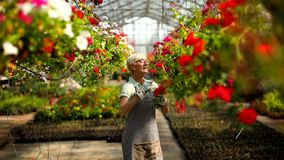 Femme supérieure heureuse de fleuriste travaillant dans le grand jardin d'agrément banque de vidéos